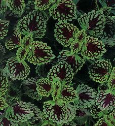 ColorBlaze® Chocolate Drop - Coleus - Solenostemon scutellarioides