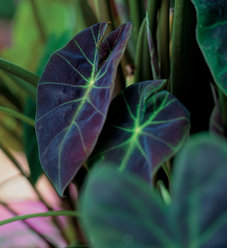 Illustris - Elephant's Ear - Colocasia esculenta