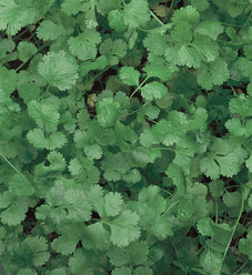 Slow Bolt Cilantro - Coriander - Coriandrum sativum