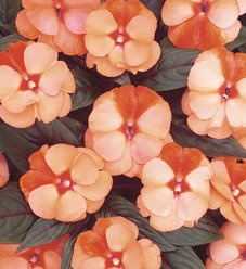 Infinity® Orange Frost - New Guinea Impatiens - Impatiens hawkeri