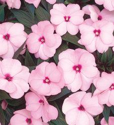 Infinity® Pink - New Guinea Impatiens - Impatiens hawkeri