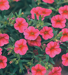 Million Bells® Trailing Pink - Calibrachoa hybrid