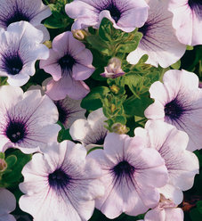 Supertunia® Trailing (formerly Mini) Blue Veined - Petunia hybrid