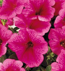 Supertunia® Trailing (Formerly Mini) Strawberry Pink Veined - Petunia hybrid