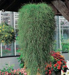 'Green Twist' - Trailing Bamboo - Agrostis stolonifera