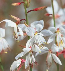 Stratosphere™ White - Butterfly Flower - Gaura lindheimeri
