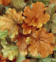 Dolce® Creme Brulee - Coral Bells - Heuchera hybrid