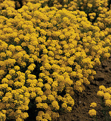 Golden Flourish™ - Basket of Gold, Alyssum - Aurinia saxatile