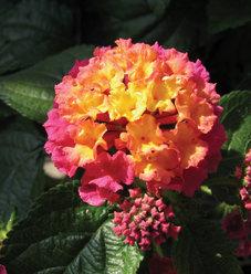 Tropical Temptation Mimosa™ - Lantana camara