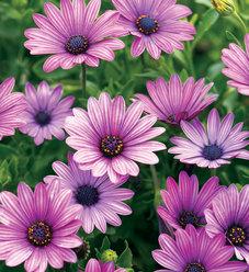Soprano® Purple - Osteospermum hybrid