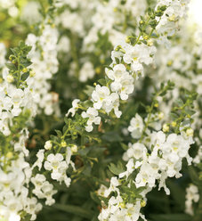 Angelface® White - Summer Snapdragon - Angelonia angustifolia hybrid