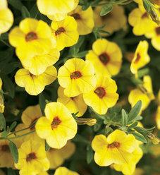 Superbells® Saffron - Calibrachoa hybrid