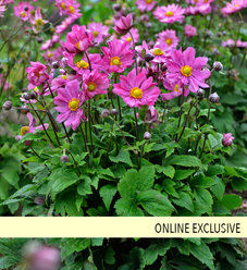 'Curtain Call Deep Rose' - Japanese Anemone - Anemone hybrid