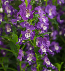 Angelface® Super Blue - Summer Snapdragon - Angelonia angustifolia