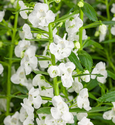 Angelface® Super White - Summer Snapdragon - Angelonia hybrid