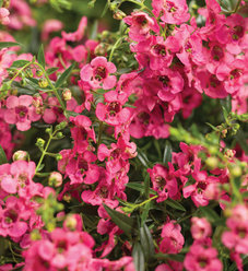 Angelface® Cascade Pink - Summer Snapdragon - Angelonia hybrid