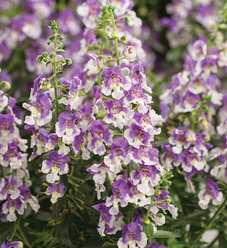 Angelface® Wedgwood Blue - Summer Snapdragon - Angelonia hybrid