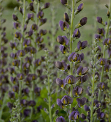 Decadence® 'Dark Chocolate' - False Indigo - Baptisia hybrid