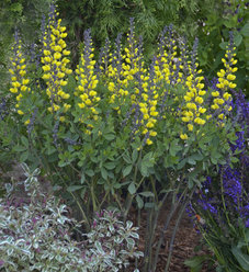 Decadence® 'Lemon Meringue' - False Indigo - Baptisia hybrid