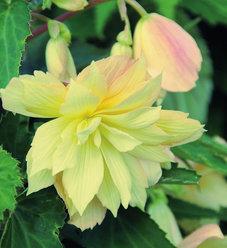 Belleconia™ Cream - Begonia hybrid