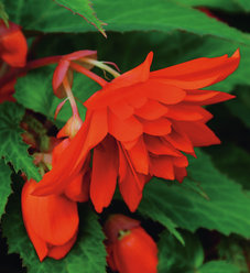 Belleconia™ Hot Orange - Begonia hybrid