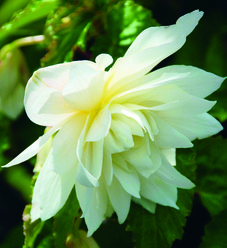 Belleconia™ Snow - Begonia hybrid