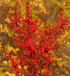 Berry Heavy® - Winterberry Holly - Ilex verticillata