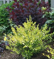 Cesky Gold™ - Dwarf Birch - Betula x plettkei