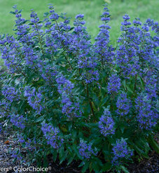 Beyond Midnight® - Bluebeard - Caryopteris x clandonensis