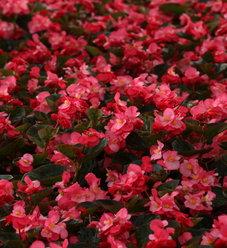 Surefire® Rose - Begonia benariensis