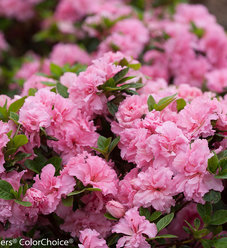 Bloom-A-Thon® Pink Double - Reblooming Azalea - Rhododendron x