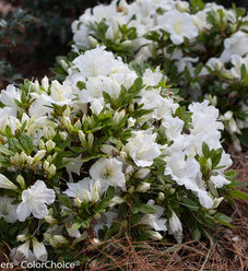 Bloom-A-Thon® White - Reblooming Azalea - Rhododendron x