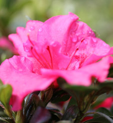 Bloom-A-Thon® Hot Pink - Reblooming Azalea - Rhododendron x