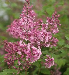 Bloomerang® 'Pink Perfume' - Reblooming Lilac - Syringa x