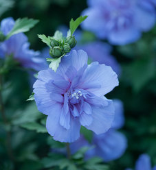 Blue Chiffon® - Rose of Sharon - Hibiscus syriacus