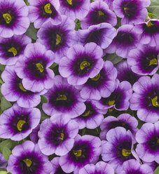 Superbells® Blue Moon Punch™ - Calibrachoa hybrid