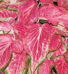 Heart to Heart™ 'Blushing Bride' - Strap Leaf Caladium - Caladium hortulanum
