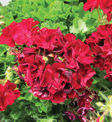 Boldly® Burgundy - Geranium - Pelargonium interspecific