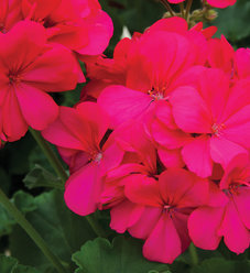 Boldly® Hot Pink - Geranium - Pelargonium interspecific