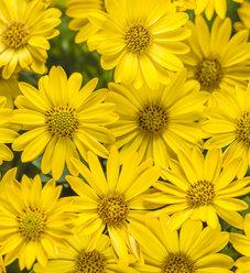 Bright Lights™ Yellow - African Daisy - Osteospermum hybrid