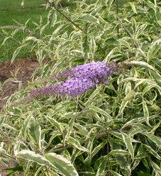 'Summer Skies' - Butterfly Bush - Buddleia x