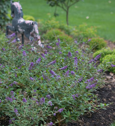 Lo & Behold® 'Blue Chip' - Butterfly Bush - Buddleia x