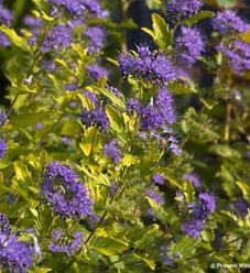 Sunshine Blue® II - Bluebeard - Caryopteris incana