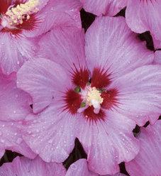 Rose Satin® - Rose of Sharon - Hibiscus syriacus