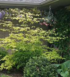 Golden Shadows® - Pagoda Dogwood - Cornus alternifolia