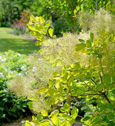 Winecraft Gold™ - Smokebush - Cotinus coggygria
