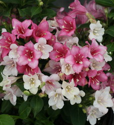Czechmark Trilogy™ - Weigela florida