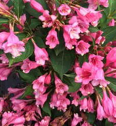 Czechmark Twopink® - Weigela florida