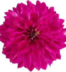 Dalina® Grande Cadena - Dahlia hybrid