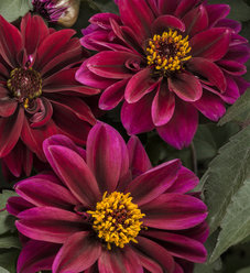 Dahlightful® Crushed Crimson - Dahlia variabilis